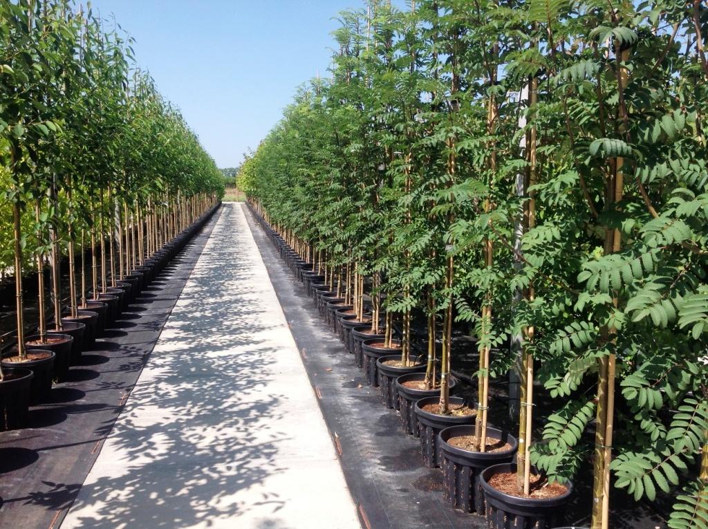 2013-07-17 Sorbus Lacinitata (sleuvenpot)